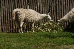 El lama blanco come Foto de archivo libre de regalías