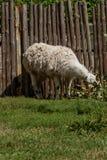 El lama blanco come Fotos de archivo libres de regalías
