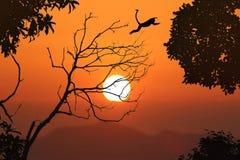 El langur de la silueta salta en los árboles deshojados y la puesta del sol roja del cielo Imagenes de archivo