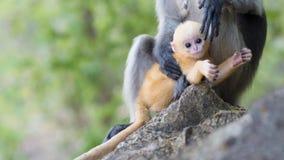 El Langur del sur o el mono oscuro de la hoja es residentes en el obscurus de Tailandia Trachypithecus, foco selectivo Imagen de archivo libre de regalías