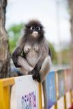 El Langur del sur o el mono oscuro de la hoja es residentes en el obscurus de Tailandia Trachypithecus, foco selectivo Imagen de archivo