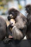 El Langur del sur o el mono oscuro de la hoja es residentes en el obscurus de Tailandia Trachypithecus, foco selectivo Fotos de archivo