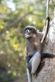 El Langur del sur o el mono oscuro de la hoja es residentes en el obscurus de Tailandia Trachypithecus, foco selectivo Imagenes de archivo
