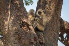 El langur gris indio monkeys la reclinación sobre un árbol en un parque en Kolkata, Fotografía de archivo