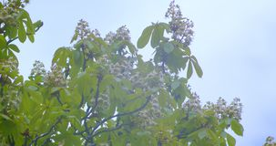 El lanzamiento del primer del árbol de castaña verde hermoso que florece en puede calentar la estación con el cielo nublado almacen de metraje de vídeo