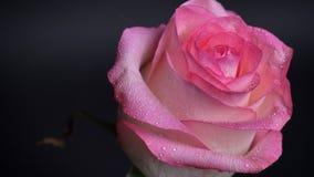 El lanzamiento del primer del rosa hermoso del temblor subió con gotas de lluvia en sus pétalos con el fondo aislado en oscuridad almacen de video