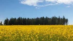 El lapso de tiempo de nubes y el cielo azul sobre mostaza amarilla floreciente colocan en un uhd ventoso del día 4k almacen de metraje de vídeo