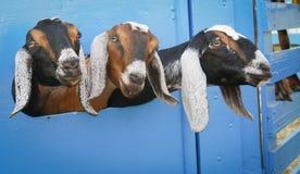 Tres cabras Imagen de archivo libre de regalías