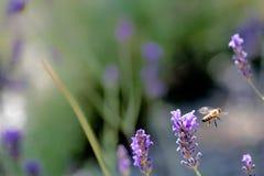 El lavander del medio del vuelo de la abeja de la miel florece el fondo con el SP de la copia Imágenes de archivo libres de regalías