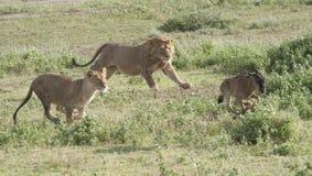 El león 3 un segundo león ensambla la persecución Foto de archivo libre de regalías