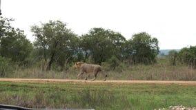 El león africano camina el camino de la sabana delante del coche con los turistas almacen de video
