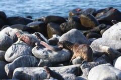 El león de mar del bebé muerde la iguana de marina en las Islas Gal3apagos Fotografía de archivo