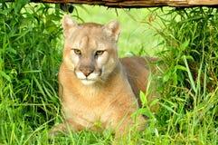 El león de montaña miente debajo de un registro caido Foto de archivo libre de regalías