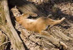 El león de montaña toma una siesta Imágenes de archivo libres de regalías