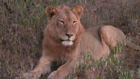 El león de reclinación se cierra los ojos almacen de video