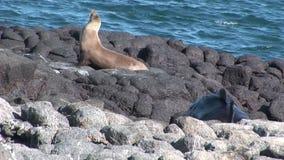 El león del sello se relaja en la playa las Islas Galápagos almacen de metraje de vídeo