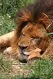 El león duerme esta noche. fotografía de archivo