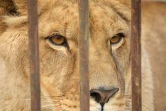 El león en la jaula del parque zoológico Imágenes de archivo libres de regalías