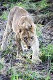 El león joven (cachorro de león) roba la carne Foto de archivo libre de regalías