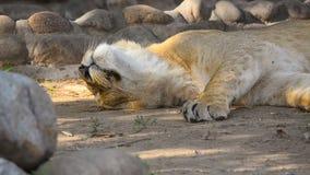 El león joven disfruta de su siesta metrajes