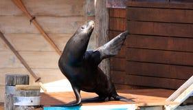 El león marino agita hola Imágenes de archivo libres de regalías