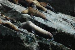 El león marino de Steller Imagen de archivo