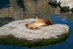 El león marino en dormir del parque zoológico Fotos de archivo
