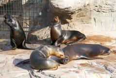 El león marino en rugidos malvados del parque zoológico Imágenes de archivo libres de regalías