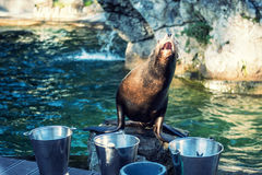 El león marino está esperando la alimentación Fotografía de archivo libre de regalías
