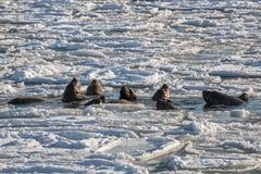 El león marino nada entre las masas de hielo flotante de hielo con su harén Foto de archivo libre de regalías