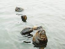 El león marino protege a su hembra imagen de archivo