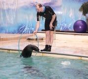 El león marino que salta a través de un aro en las manos del instructor Fotos de archivo