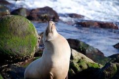 El león marino que sueña despierto toma cerca del punto La Jolla Fotos de archivo libres de regalías
