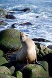 El león marino que sueña despierto toma cerca del punto La Jolla Fotografía de archivo libre de regalías