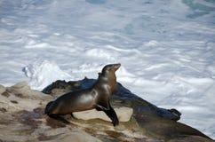 El león marino toma un baño del sol cerca de la ensenada de La Jolla Imagen de archivo
