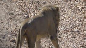 El león masculino camina lejos en el arbusto metrajes