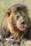 El león masculino del retrato está comiendo la presa Imagenes de archivo