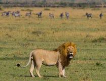 El león masculino grande con la melena magnífica va en sabana Parque nacional kenia tanzania Maasai Mara serengeti Foto de archivo