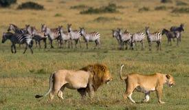 El león masculino grande con la melena magnífica va en sabana Parque nacional kenia tanzania Maasai Mara serengeti Fotografía de archivo libre de regalías