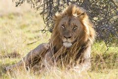 El león masculino grande se relaja Foto de archivo libre de regalías