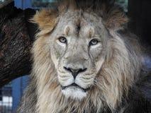 El león masculino grande sonríe para la cámara Imagen de archivo libre de regalías