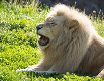 El león miente en la hierba en el salvaje Imagen de archivo