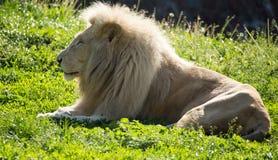 El león miente en la hierba en el salvaje Imágenes de archivo libres de regalías
