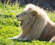 El león miente en la hierba en el salvaje Fotos de archivo