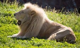 El león miente en la hierba en el salvaje Fotografía de archivo