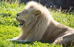 El león miente en la hierba en el salvaje Foto de archivo libre de regalías