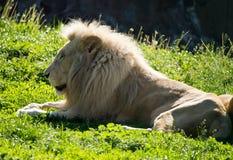 El león miente en la hierba en el salvaje Imagen de archivo libre de regalías
