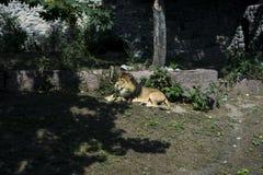 El león miente en el sol fotografía de archivo