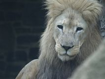 El león mira fijamente con los ojos oscuros imágenes de archivo libres de regalías