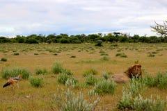 El león mira fijamente el chacal de espalda negra en Etosha Namibia África Fotos de archivo